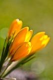 Colour krokusów pole szczegółowy rysunek kwiecisty pochodzenie wektora Zdjęcia Stock