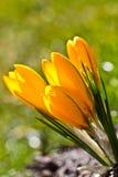 Colour krokusów pole szczegółowy rysunek kwiecisty pochodzenie wektora Zdjęcie Royalty Free