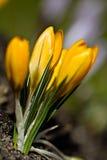 Colour krokusów pole szczegółowy rysunek kwiecisty pochodzenie wektora Fotografia Royalty Free