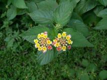 2 colour kwiat Zdjęcia Royalty Free