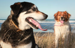 Colour landscape format image of two dogs in dune grasses at a beach Stock Image