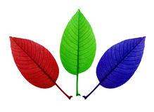 colour leaf. A leaf with three colour,red,green and blue  under the white background Royalty Free Stock Photo