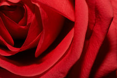 ColouR of LovE. Red rose. Symbol of Love Stock Photography