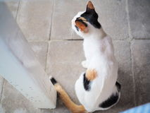 Colour mix from backside of cat. From thailand royalty free stock image