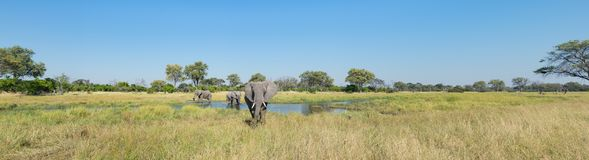 A colour panorama photograph of three elephants, Loxodonta afric. Ana, at a waterhole in a vast grassy clearing in the Okavango Delta, Botswana Stock Photos