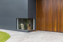 A colour photograph of a white dog and a brown dog waiting infront of a low window at a house with timber and aluminium cladding Royalty Free Stock Photo