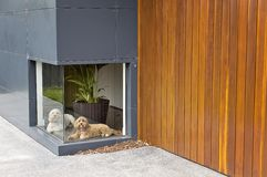 A colour photograph of a white dog and a brown dog waiting infront of a low window at a house with timber and aluminium cladding Royalty Free Stock Images