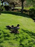 Colour picture of ducks Royalty Free Stock Image