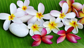 Colour of Plumeria flowers. Various colour of Plumeria flowers with white stone on green leaf royalty free stock photos