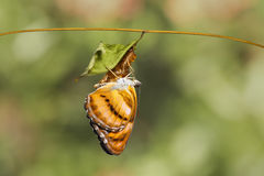 Colour segeant butterfly hanging on chrysalis after emerged. Colour segeant butterfly ( Athyma nefte ) hanging on chrysalis after emerged royalty free stock images