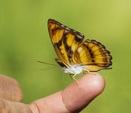 Colour segeant butterfly sucking fod from human finger Royalty Free Stock Photography