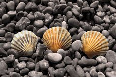 Colour Shells on Pebbles. Colour pebbles on black and white pebbles stock photography