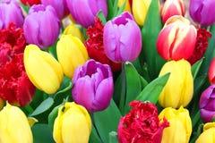Colour spektrum tulips in spring, romantic garden Stock Images