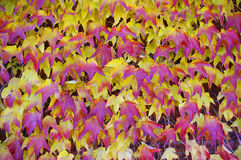 Colour vine leaves. Wall of colour vine leaves in november royalty free stock photo