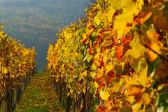 Colour Vineyard - Leaves. Autumn vineyard in Ribeauville, colour season Stock Images