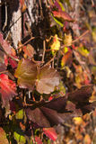 Colour of Winter Leaves Royalty Free Stock Photography