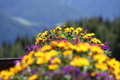 Coloured alpine flowers. Vase of yellow and purple alpine flowers Stock Images