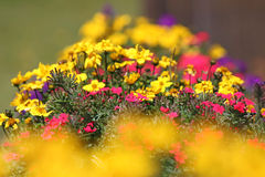 Coloured alpine flowers Stock Images