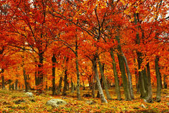 Coloured autumn. Autumn beechwood in month October Royalty Free Stock Photo