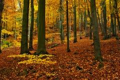 Coloured autumn. Autumn beechwood in month October Stock Photo