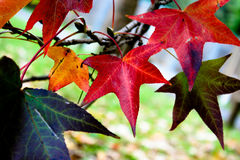 Coloured Autumn Leaves Stock Image
