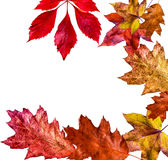 Coloured autumn leaves Royalty Free Stock Photo