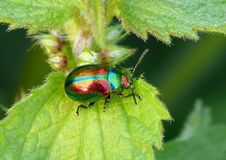 Coloured beetle. Very very coloured beetle on nettle stock images