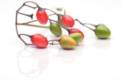 Coloured berry nightshade Stock Photo