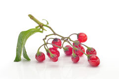 Coloured berry nightshade Stock Photos