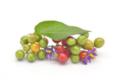Coloured berry nightshade Royalty Free Stock Image