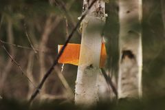 Coloured birch Stock Image