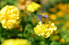 Coloured butterfly drink flower nectar. Royalty Free Stock Image