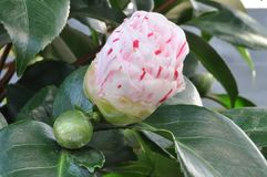 Coloured camellia bud within greenery. Image Shows a camellia bud within greenery. In the back is Tropical greenery and some buds Royalty Free Stock Image