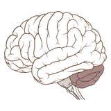 Coloured cerebellum ludzki mózg anatomii bocznego widoku mieszkanie ilustracja wektor