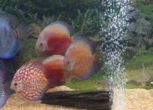 Coloured discus fishes Stock Photography