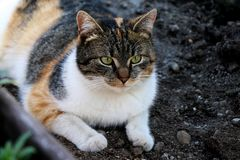 A coloured domestic cat, Felis silvestris catus, lying in clay in greenhouse. And looking on something. My best friend Liza. Green eyes and black, white and royalty free stock photos
