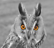 Coloured Eyed Owl Royalty Free Stock Photo