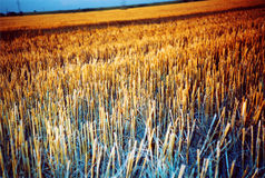 Coloured field. Field in pianura padana, italy (lomo lc-a + colorsplash flash Royalty Free Stock Images