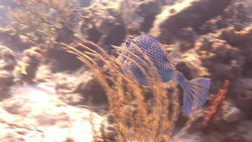 Coloured fish swims fast on the reef stock footage