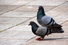 Coloured gołąb, gołębie Zdjęcia Royalty Free