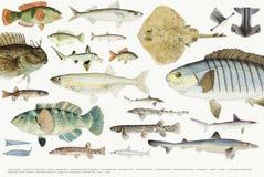 Coloured ilustracja rybia rysunkowa kolekcja Zdjęcie Stock