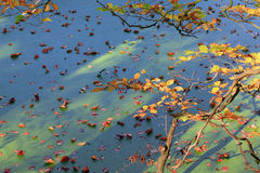 Coloured leaves in autumn, in and above creek water Royalty Free Stock Photos