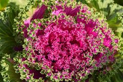 Coloured leaves of ornamental cabbage in the summer. Royalty Free Stock Photo