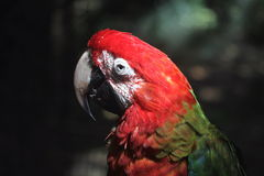 Coloured Macaw Royalty Free Stock Photos