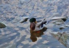 Coloured Mallard Duck in the Water Stock Photos