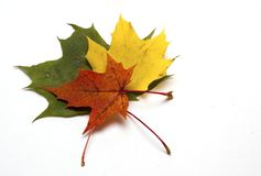 Coloured maple leaf on white background/maple leaf. /isolated objects stock images