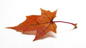 Coloured maple leaf on white background/maple leaf. /isolated objects royalty free stock photo