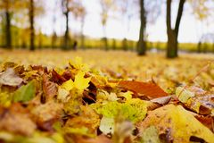 Free Coloured Maple Leaves In The Fall. Well Convey The Mood Of Autumn Close Up Orange Leaves On Ground With Forest On Royalty Free Stock Images - 162079159