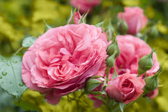 coloured pastell menchii róża Zdjęcia Stock