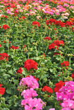 Coloured pelargoniums Royalty Free Stock Images